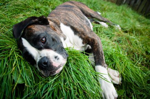 Free Stock Photo of Boxer dog lying on grass