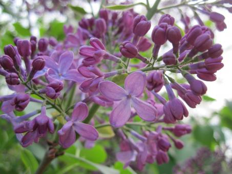 Free Stock Photo of Lilac blossoms