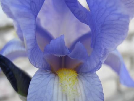 Free Stock Photo of Inside a blue Iris flower