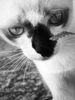 Free Stock Photo of Burmese Cat Black and White