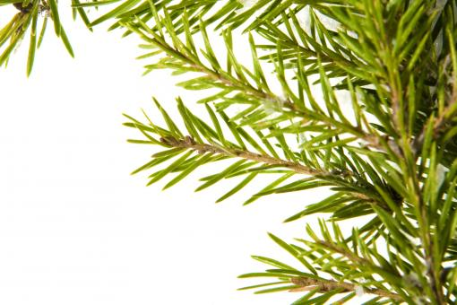 Free Stock Photo of Fir branch