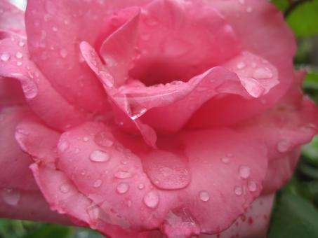 Free Stock Photo of Pink rose with rain drops close-up