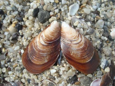 Free Stock Photo of Brown clam shell
