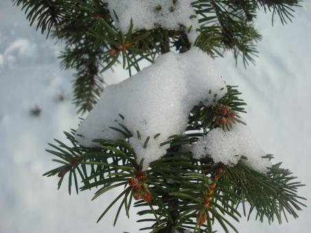 Free Stock Photo of Snow covered fir tree