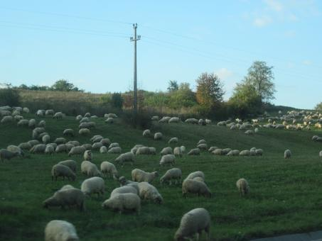 Free Stock Photo of A herd of sheep