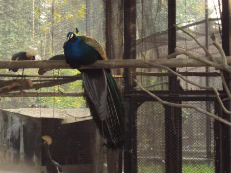 Free Stock Photo of Indian peacock - at alipur zoo