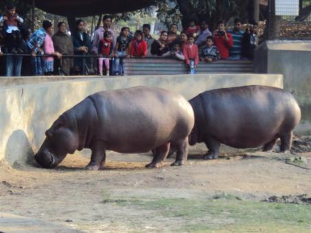 Free Stock Photo of Hippopotamus at Alipur zoo