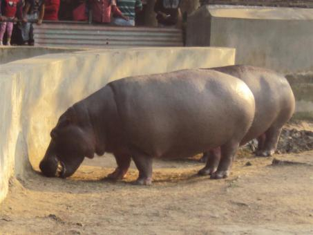 Free Stock Photo of Hippopotamus at Alipur zoological garden