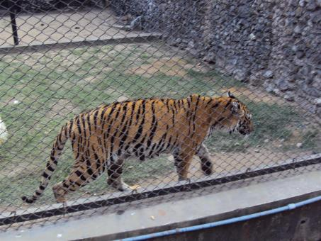 Free Stock Photo of Royal Bengal tiger at Alipur zoo