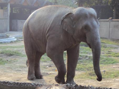 Free Stock Photo of Elephant at Alipur zoo