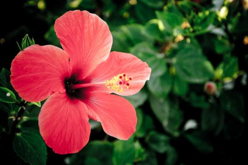 Free Stock Photo of Red hibiscus flower