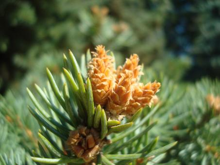 Free Stock Photo of Young fir cones