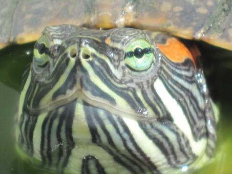 Free Stock Photo of Turtle close-up