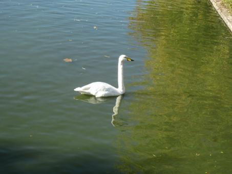Free Stock Photo of Swan in a lake