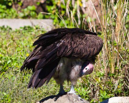 Free Stock Photo of Vulture