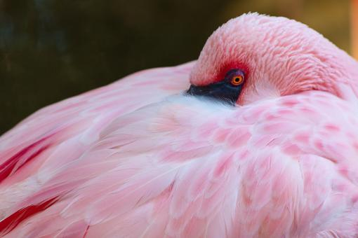 Free Stock Photo of Flamingo