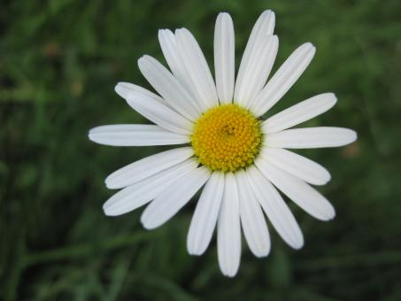 Free Stock Photo of Daisy flower