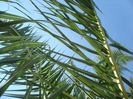 Free Stock Photo of Palm leafs