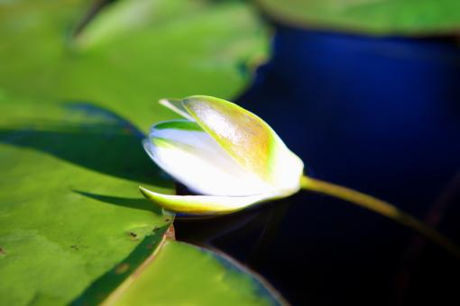 Free Stock Photo of water lily