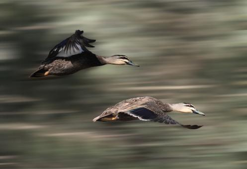 Free Stock Photo of Flying ducks