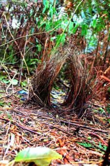 Free Stock Photo of Bowerbird's Bower