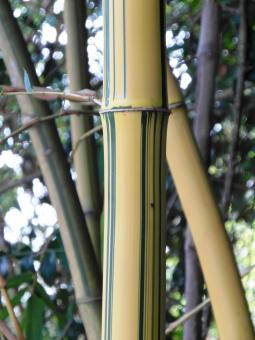 Free Stock Photo of Golden Striped Bamboo Detail