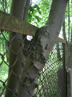 Free Stock Photo of Tree grown into the fence