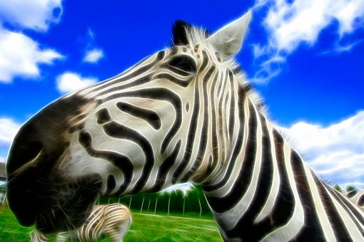 Free Stock Photo of Wide-Angle Zebra Abstract