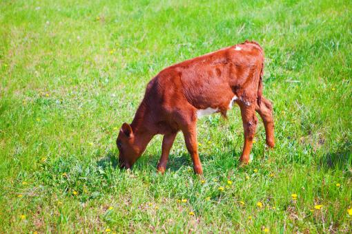 Free Stock Photo of Calf