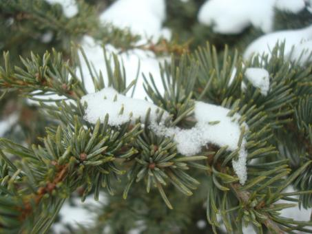 Free Stock Photo of Snow on fir branches