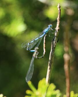Free Stock Photo of Blue Damselfly
