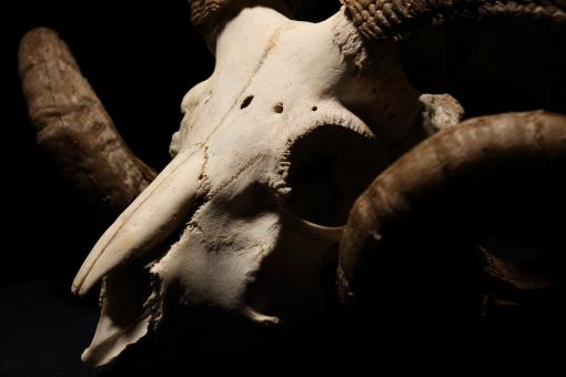 Free Stock Photo of Ram Skull and Horns