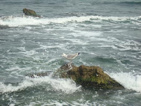 Free Stock Photo of Seagull on a rock