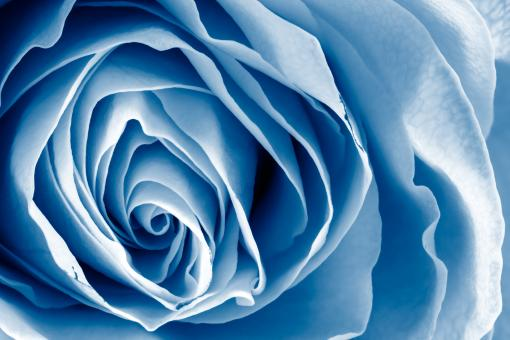 Free Stock Photo of Blue Rose - HDR