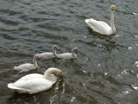 Free Stock Photo of A swan family