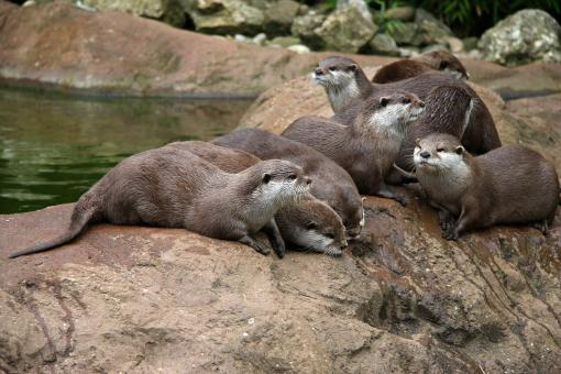 Free Stock Photo of Otters