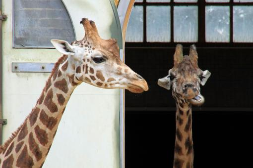 Free Stock Photo of Giraffes