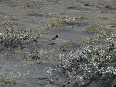 Free Stock Photo of Little bird in volcanic ash