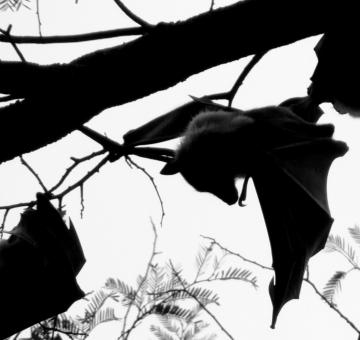 Free Stock Photo of Bat Silhouette