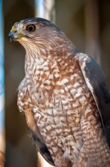 Free Stock Photo of Hawk