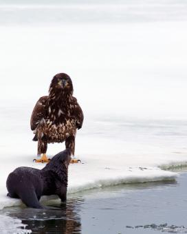 Free Stock Photo of Bald Eagle and Otter