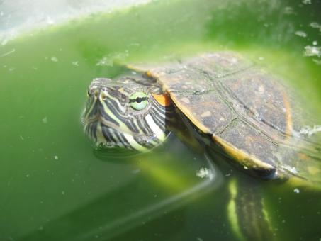 Free Stock Photo of Turtle pet closeup