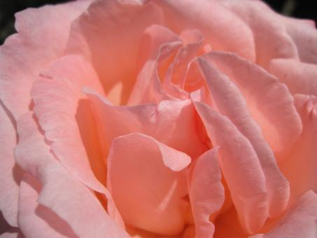 Free Stock Photo of Gentle pink rose