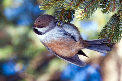 Free Stock Photo of Boreal Chickadee