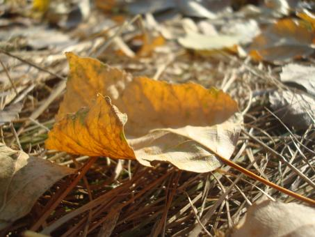 Free Stock Photo of Dry autumn leaf