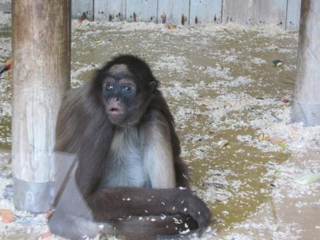 Free Stock Photo of Monkey in captivity