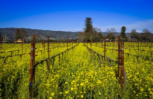 Free Stock Photo of Napa Vineyard