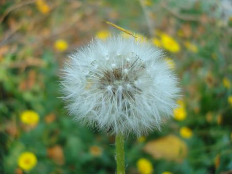 Free Stock Photo of A dandelion flower
