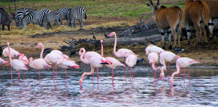 Free Stock Photo of Flamingos, zebras and a wildebeast
