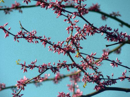 Free Stock Photo of Pink blossoms in the sky